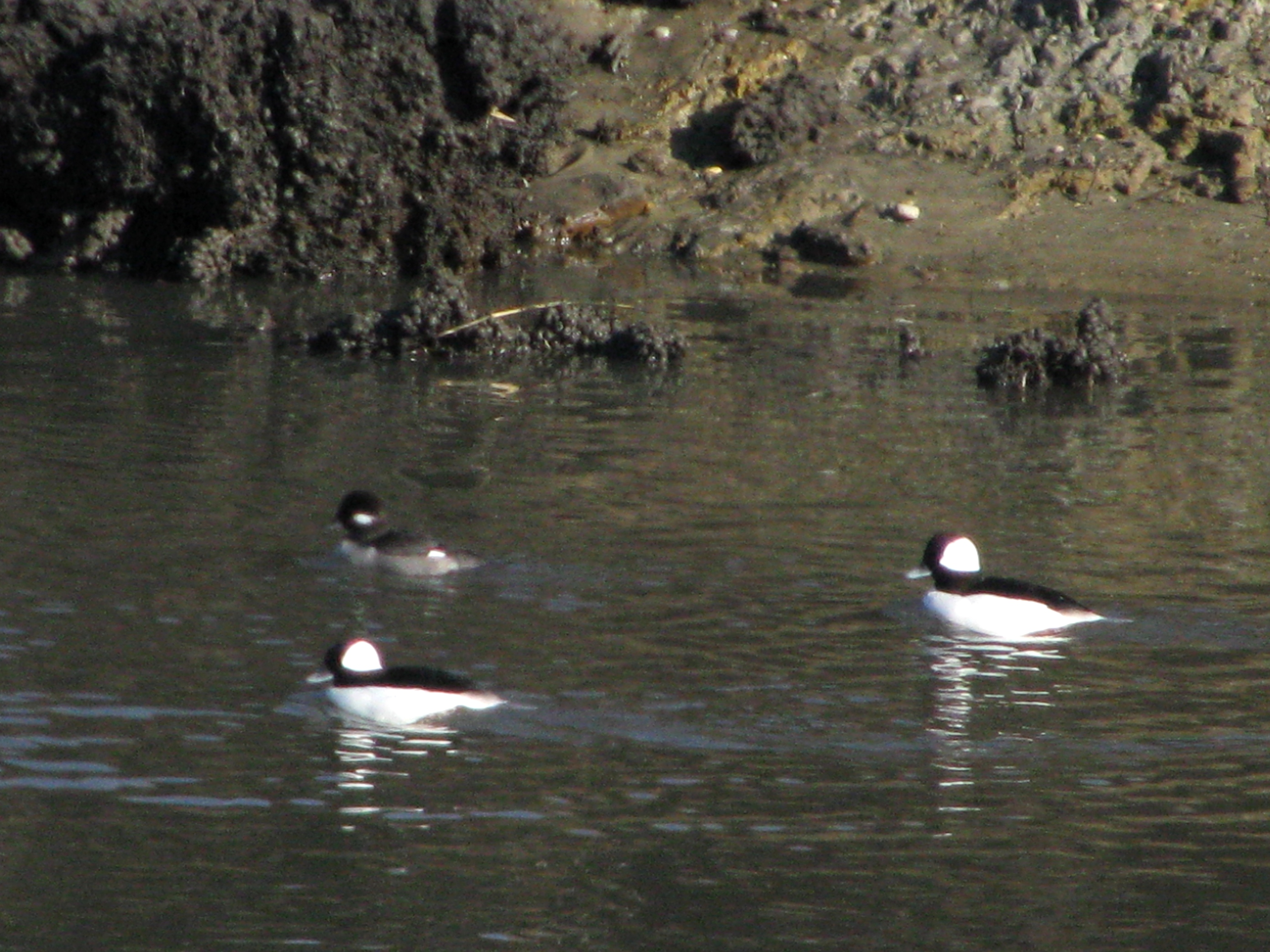 Buffleheads(two drakes and a hen) swim in a tidal creek at Bombay Hook NWR.