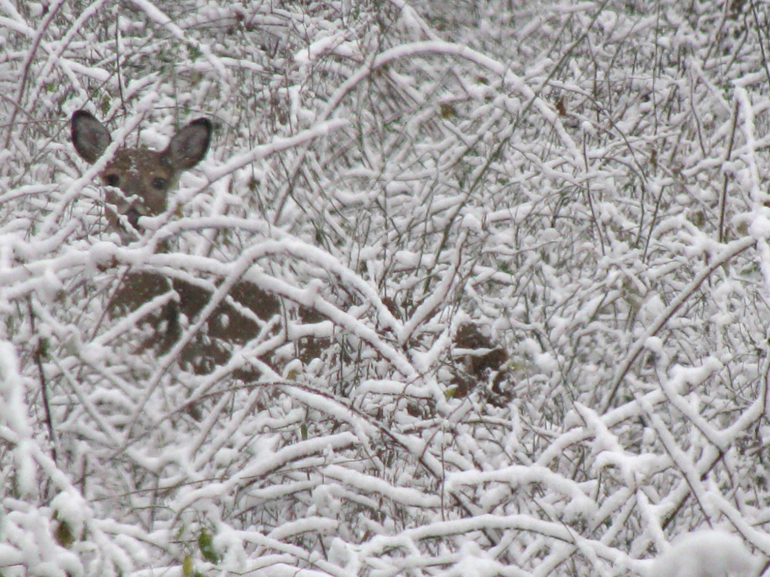A White-tailed Deer peers through snow-laden brambles.