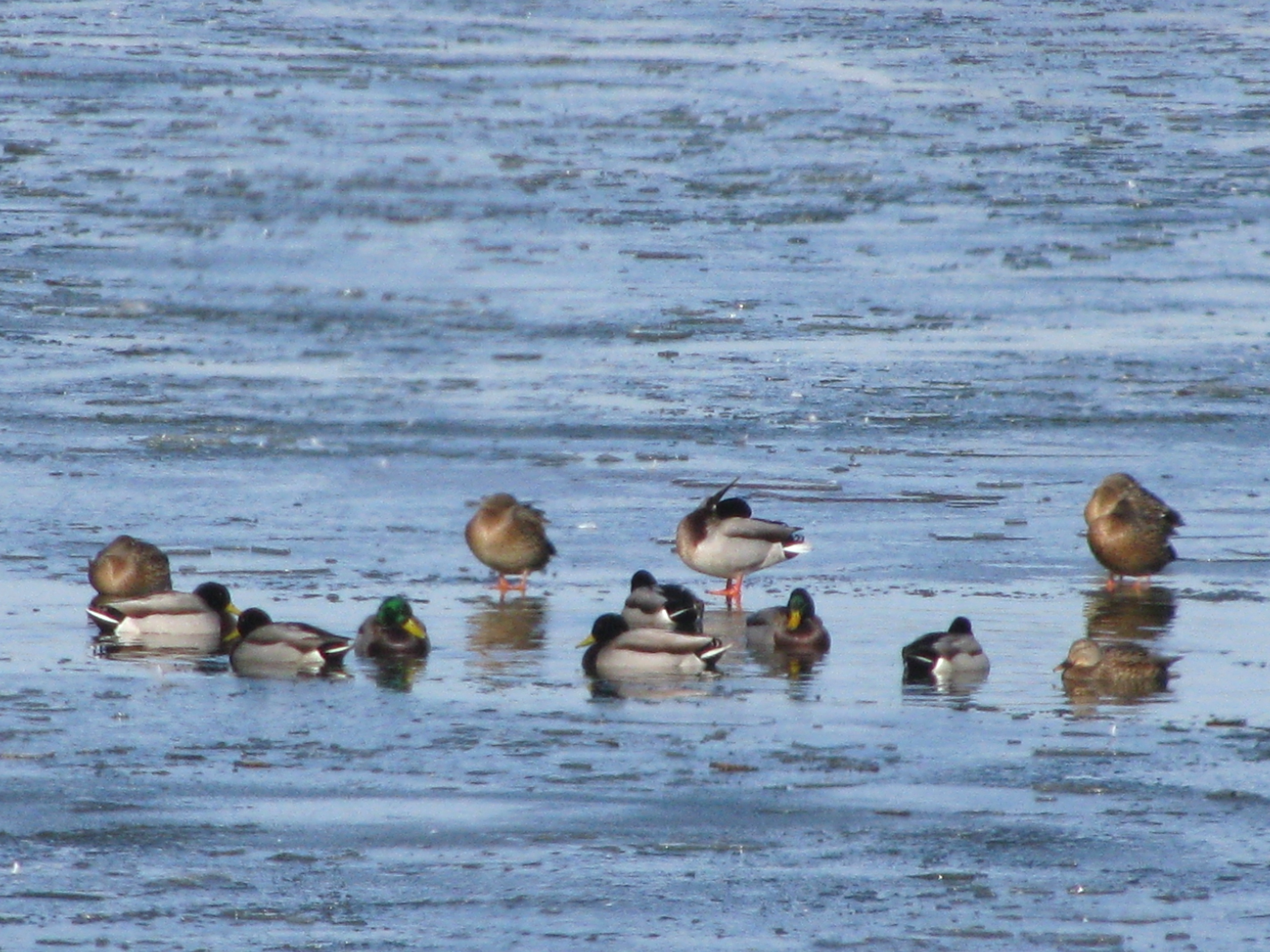 A flock of Mallards(and a couple Black Ducks) rest on an icy pond.