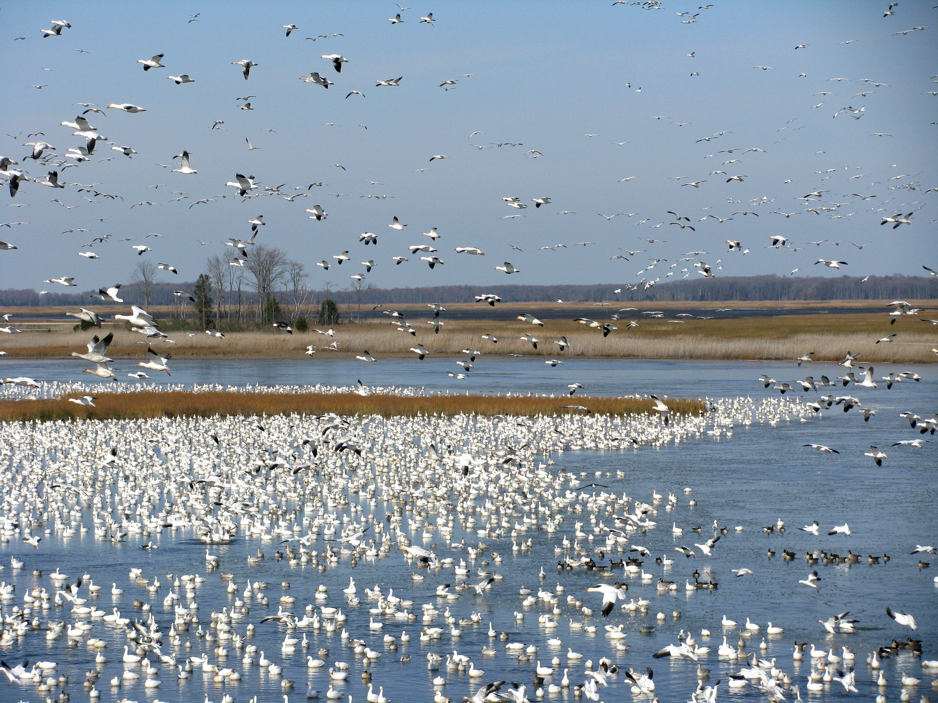 Swarms of Snow Geese swirl into Raymond Pool at Bombay Hook NWR.