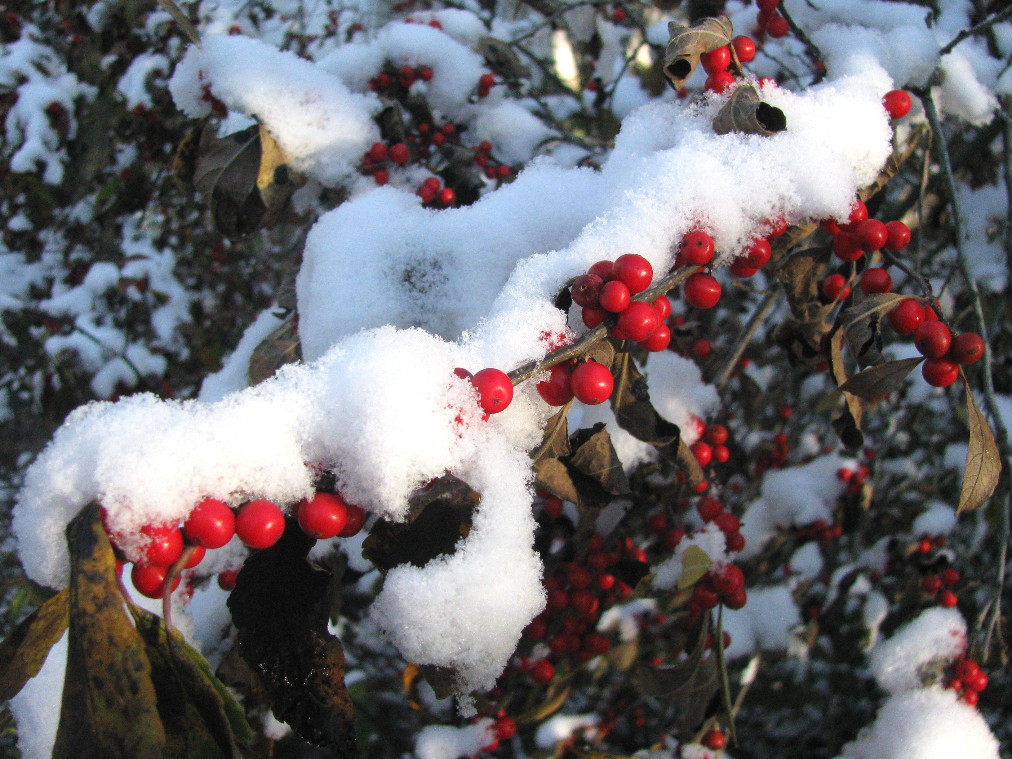 A Winterberry cloaked in fresh snow.