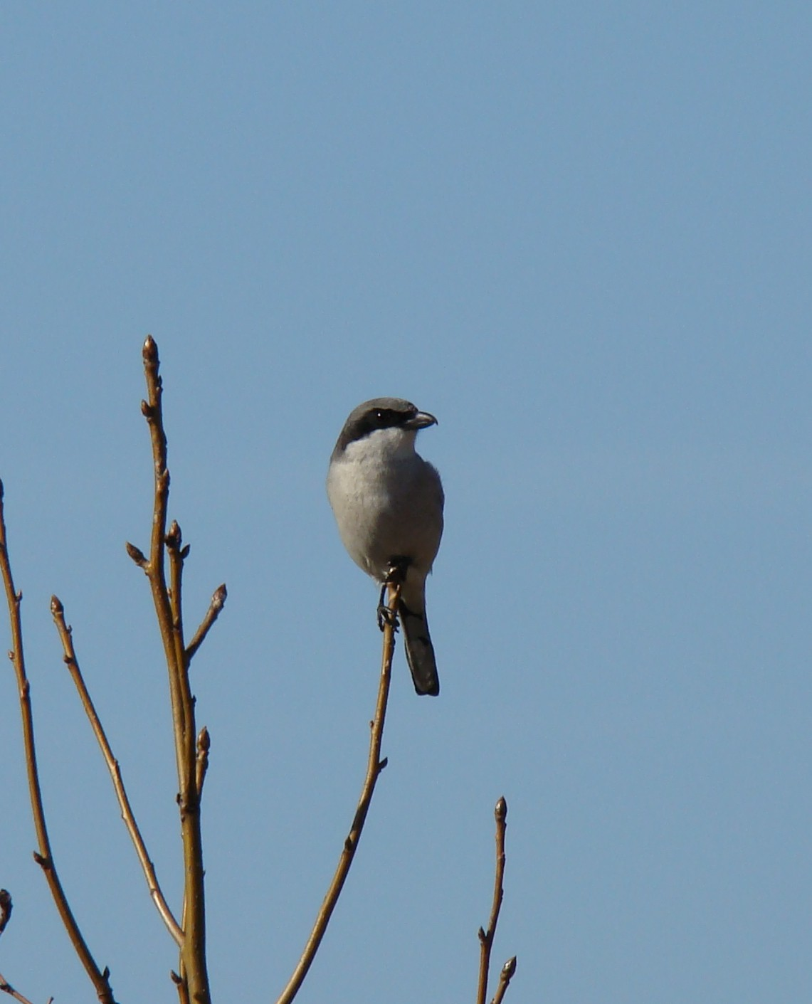 A Loggerhead Shrike surveys the thicket at Myrtlewood.