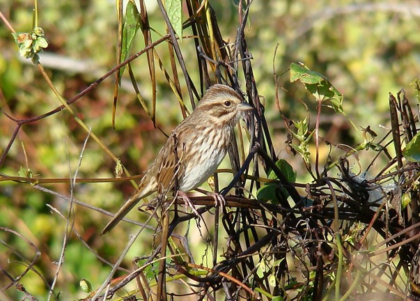 The old field and thicket habitats at Holts Landing provide lots of habitat for a variety of sparrows, including lots of Song Sparrows.