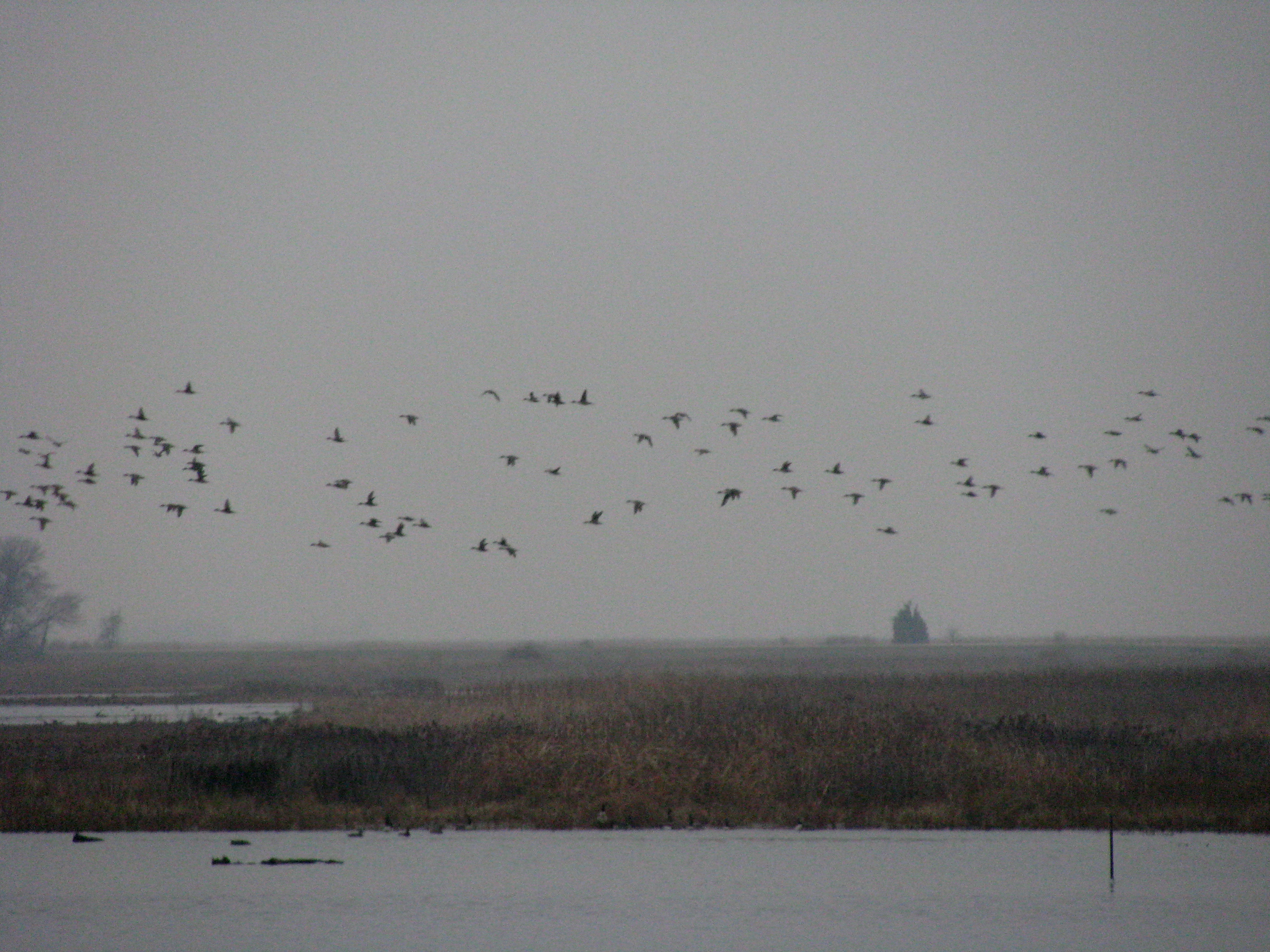Flocks of ducks wing over the waters of Bear Swamp.
