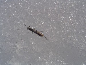 Adult Winter Stonefly on snow