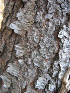 """Brunt Cornflakes"" bark of a Black Cherry"