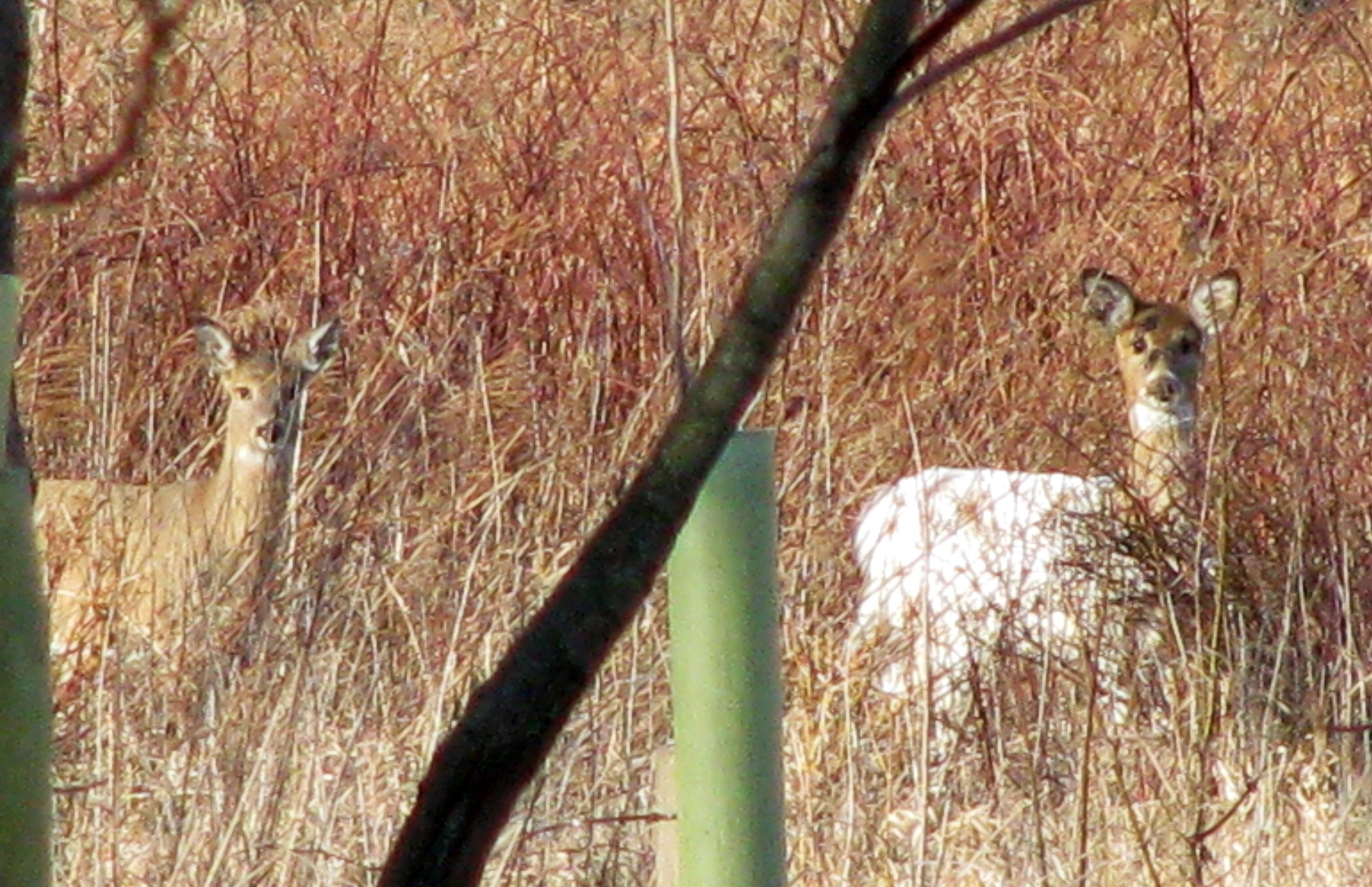 A piebald deer at Ashland, next to a normal-colored counterpart.