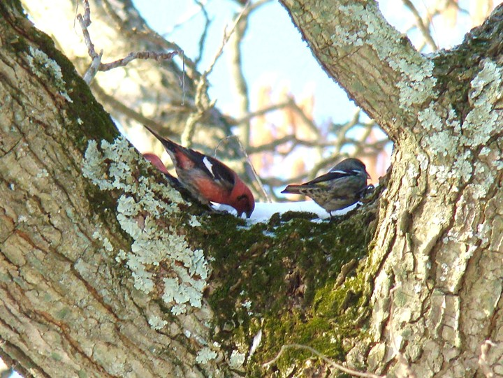 White-winged Crossbills eating snow in a tree.  Photo by Joe Sebastiani