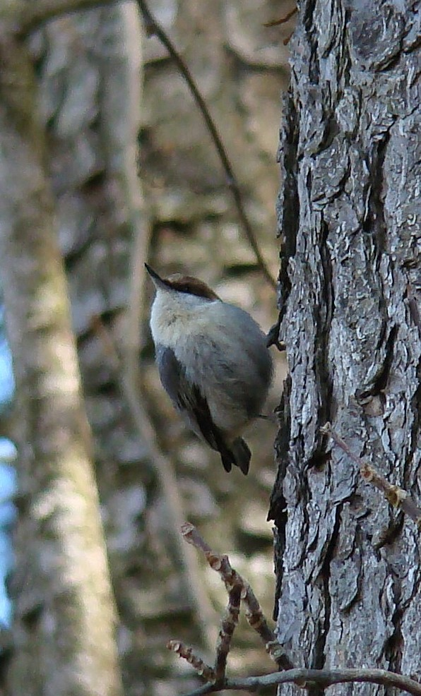 The Brown-headed Nuthatch is another one of my favorite birds.  They are abundant in the pine forests of the southeast and DE is the northernmost part of their range.