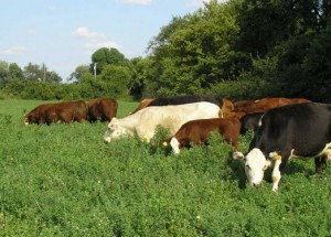 Grass-fed Cattle on pasture
