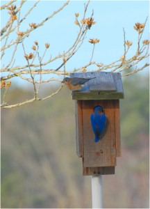 Eastern Bluebirds investigating nest box - Photo by Chuck Fullmer