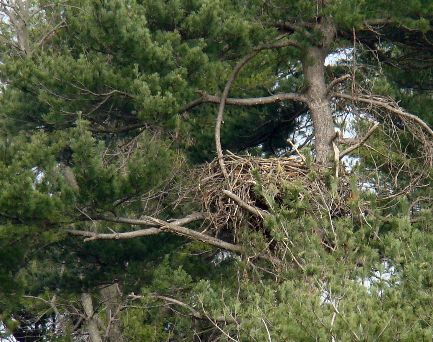 Active Bald Eagle nest at Hoopes Reservoir.  The eagle is not visible, but it was crouched down, incubating.