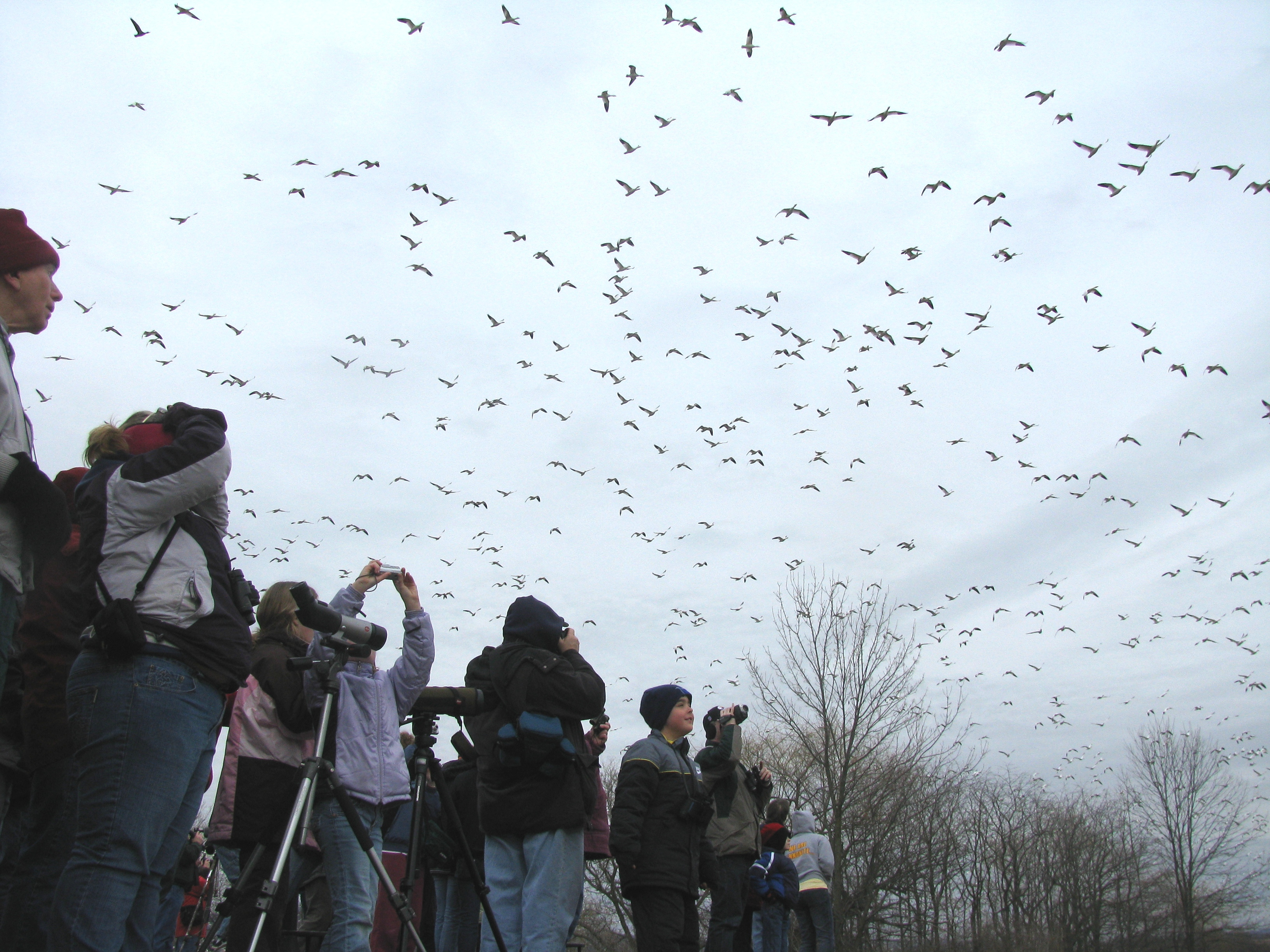 A swarm of Snow Geese flies overhead as our participants take photos, and cover their heads!
