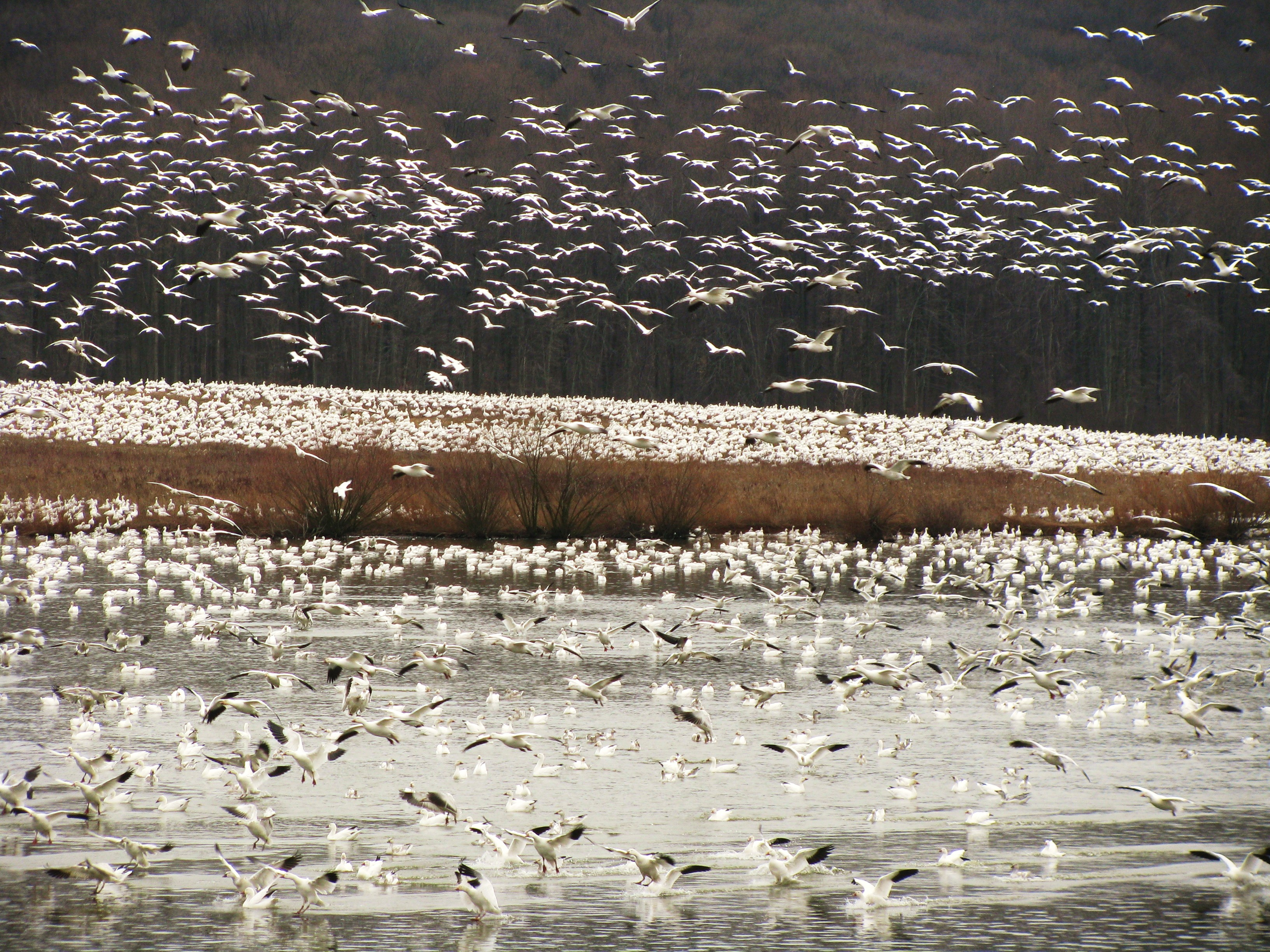 A blizzard of Snow Geese at Middle Creek Wildlife Area in Pennsylvania.