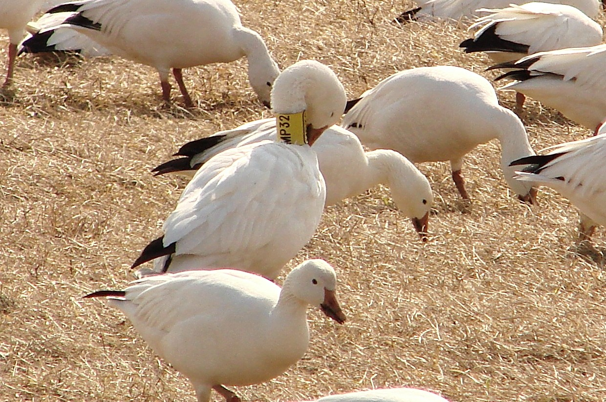 A female Snow goose, wearing neck collar MP32, was banded by scientists on her breeding grounds on Bylot Island, above the Arctic Circle.