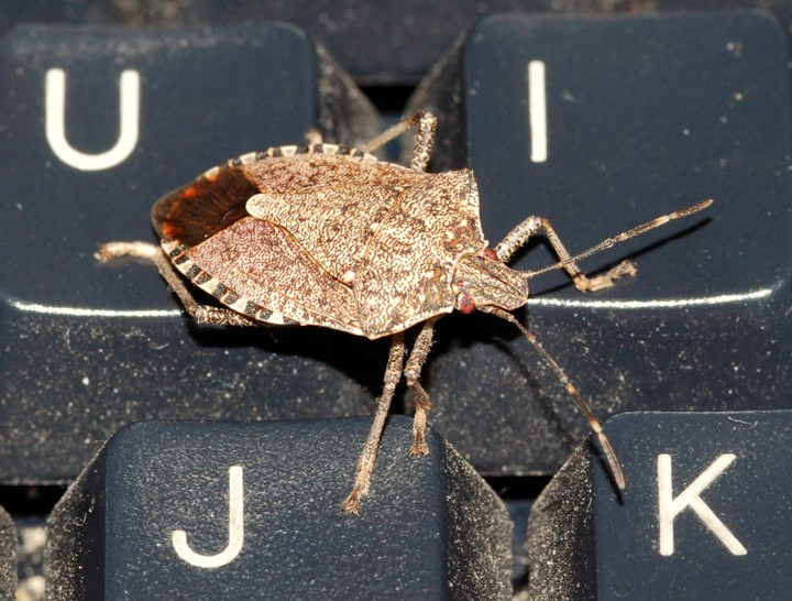 Marmorated Stink Bugs are swarming in my office!