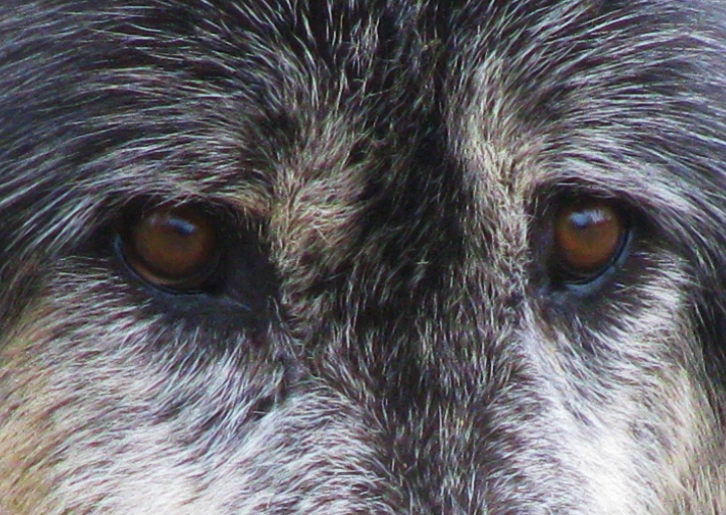 Looking into the eyes of a Gray Wolf.