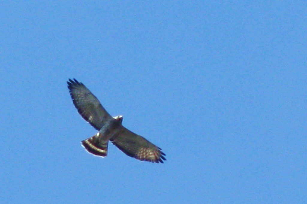 An adult Broad-winged Hawk soars above the White clay Valley on April 18, 2009.