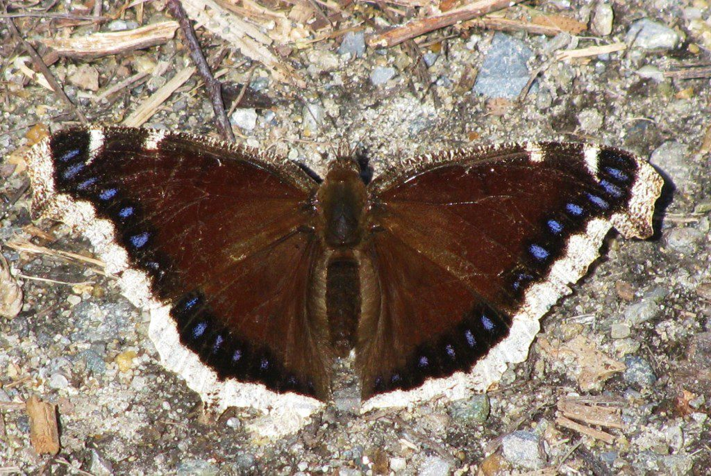 A Mourning Cloak basking on the ground, its dark chocolate brown wings helping to pick up the warmth of the spring sun.