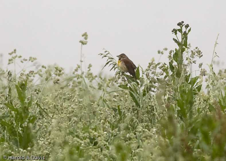 We saw a pair of Dickcissel, a mid-western bird that rarely breeds east of the Appalachian Mountains.  Photo by Hank Davis