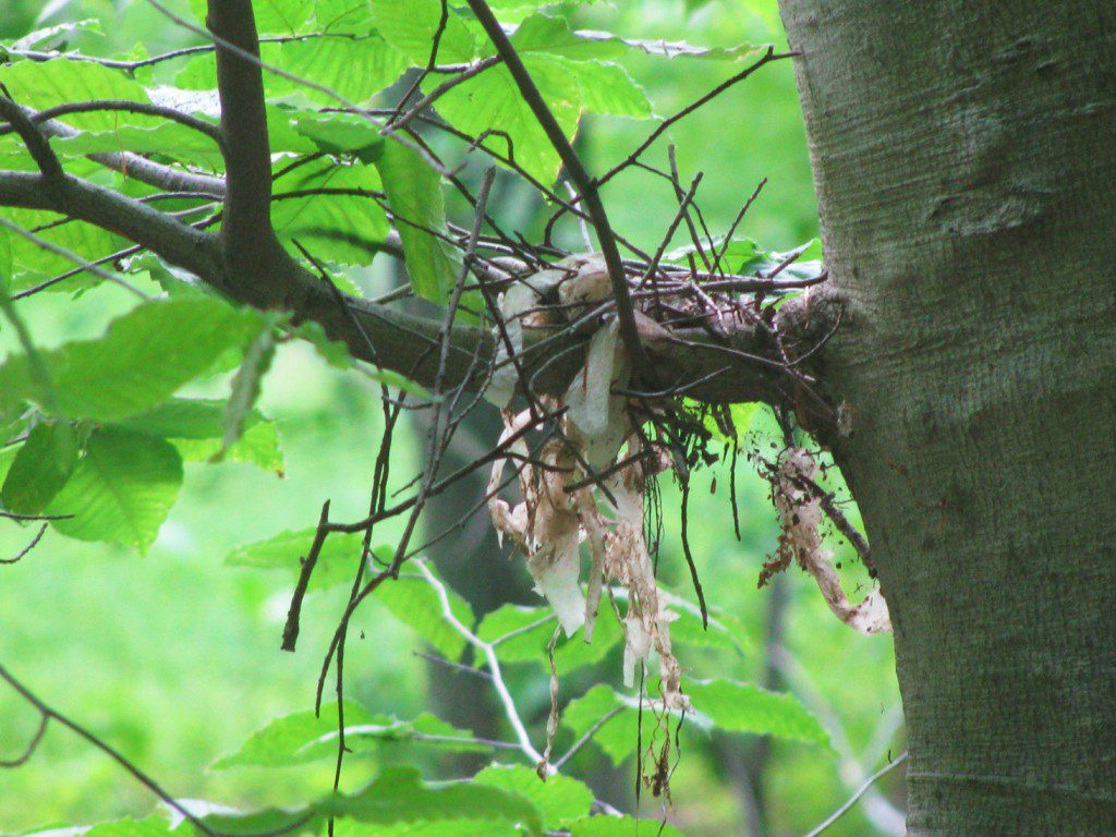 The bird nest, very much askew after the crash of a neighboring tree.