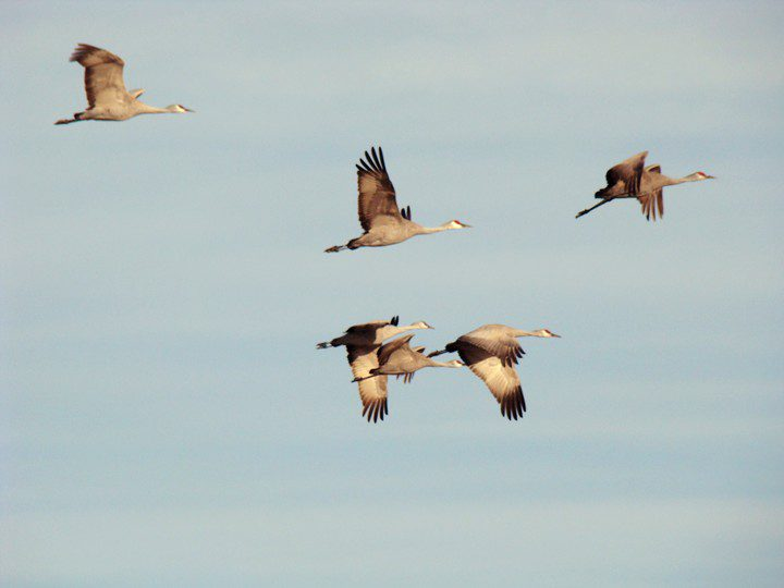 Sandhill Cranes taking flight from the Platte River to feed in a nearby cornfield.