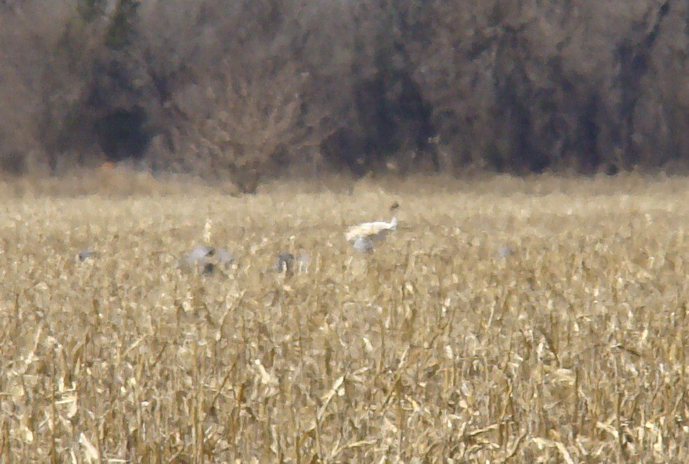 Heat waves and distance made good photography impossible, but there is was, a juvenile Whooping Crane feeding with Sandhill Cranes in a Nebraska cornfield.