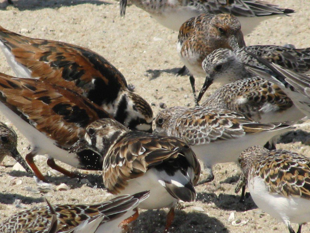 Ruddy Turnstones, Dunlins, and Semi-palmated Sandpipers make the sand fly as they probe for horseshoe crab eggs!