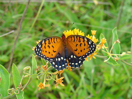 A Regal Fritillary at Fort Indiantown Gap.  Photo by DMVA wildlife staff.