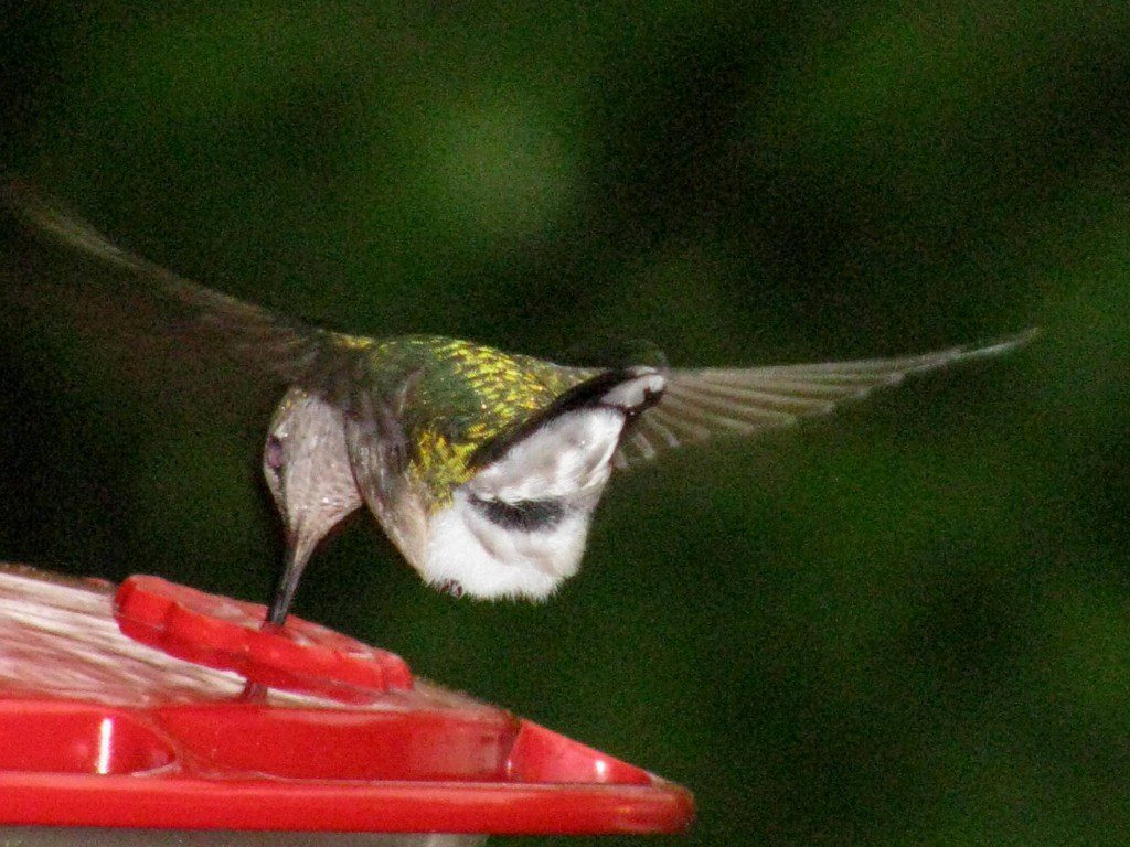 A Ruby-throated Hummingbird hovers while dipping its beak into the sugar water feeder.  Photo by Derek Stoner.