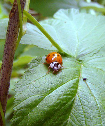 Asiatic Multicolored Lady Beetle