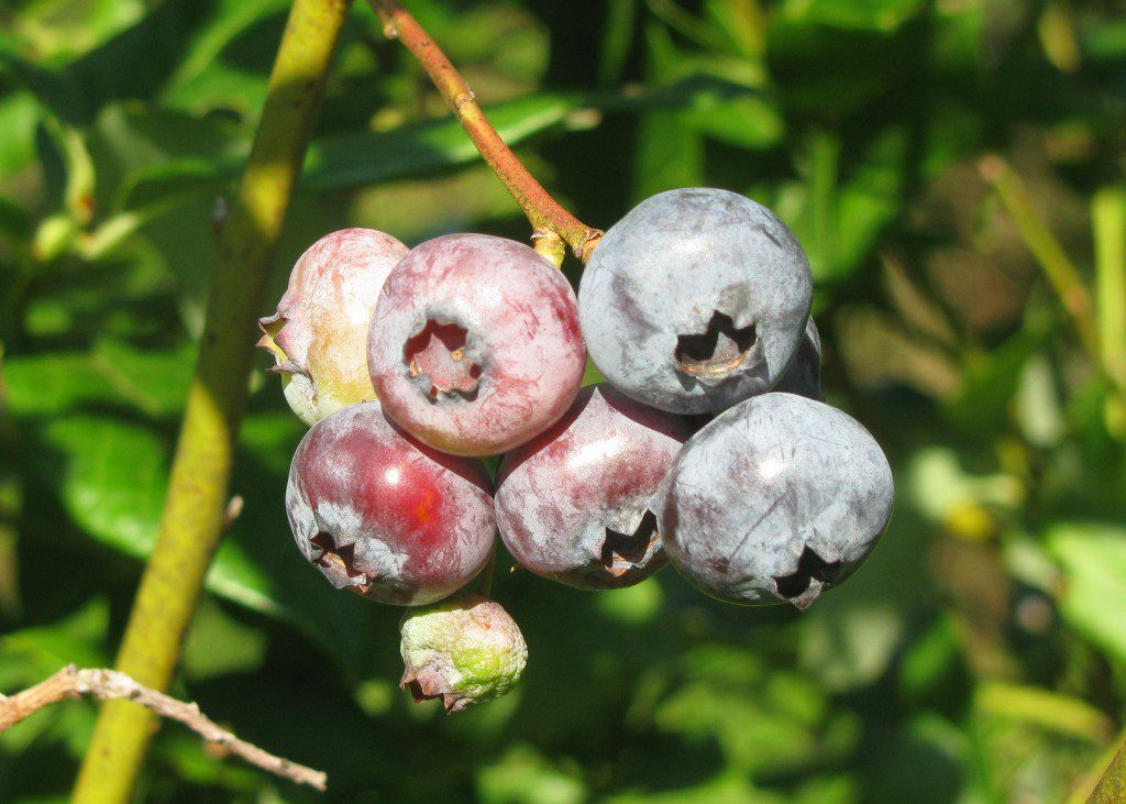 A cluster of blueberries, some ripe and some getting ready.  Photo by Derek Stoner.