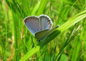 A male Eastern Tailed Blue rests on a blade of grass.