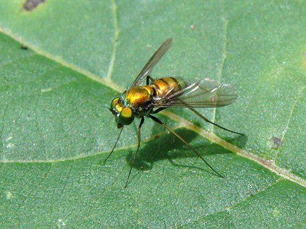 Long-legged Fly.