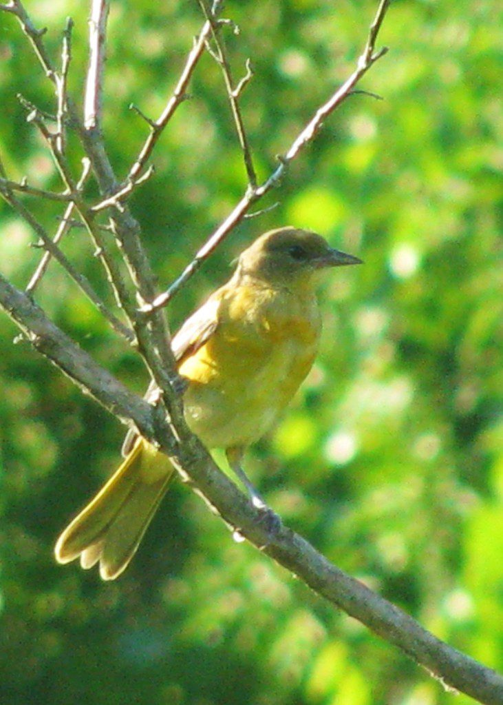 A young Orchard Oriole pauses on branch before resuming its raid on a blueberry patch.  Photo by Derek Stoner.