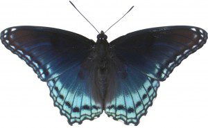 "A ""cropped out"" photo of Red-spotted Purple at Ashland."