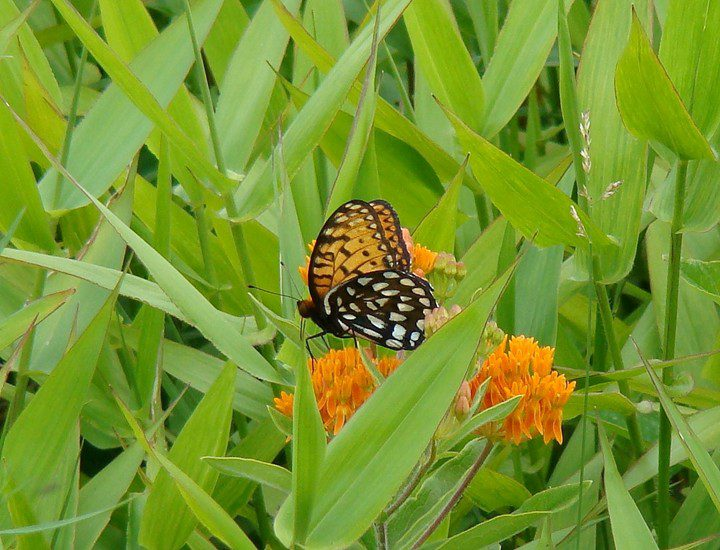 Finally, a Regal Fritillary got close and stayed still long enough for a photo!