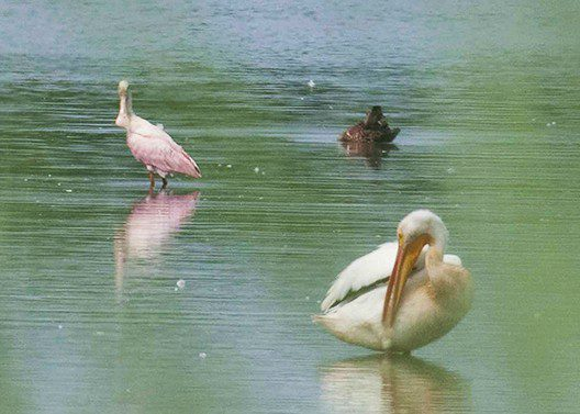 A Roseate Spoonbill and American White Pelican compare beaks at Thousand Acre Marssh.  Photo by Jay Young.