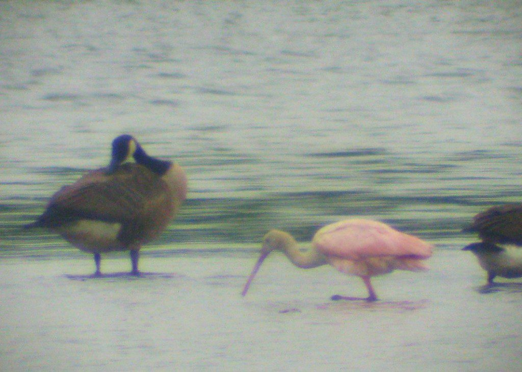 A Roseate Spoonbill at Thousand Acre Marsh on July 17, 2009.  digiscoped photo by Derek Stoner.