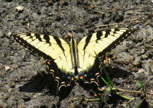 A puddling male Tiger Swallowtail, the state butterfly of Delaware.