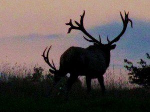 As dusk settles, a pair of huge bull elk bugle and battle atop legendary Winslow Hill.