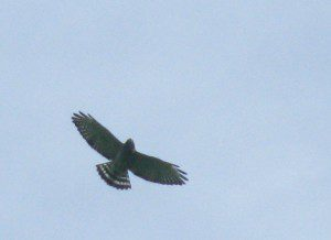 A Broad-winged Hawk circles low overhead, after leaving its morning roost.