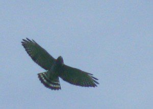 A Broad-winged Hawk displays its classic silhouette(and name-sake shape) in soaring flight.