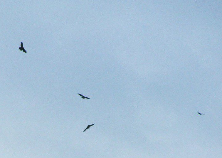 "A small flock, or ""kettle"" of four Broad-winged Hawks rises in the sky."