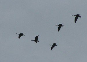 The familiar V-shaped flocks of Canada Geese are once again gracing our skies.