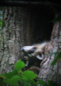 A raccoon reclines high in its hollow tree home.