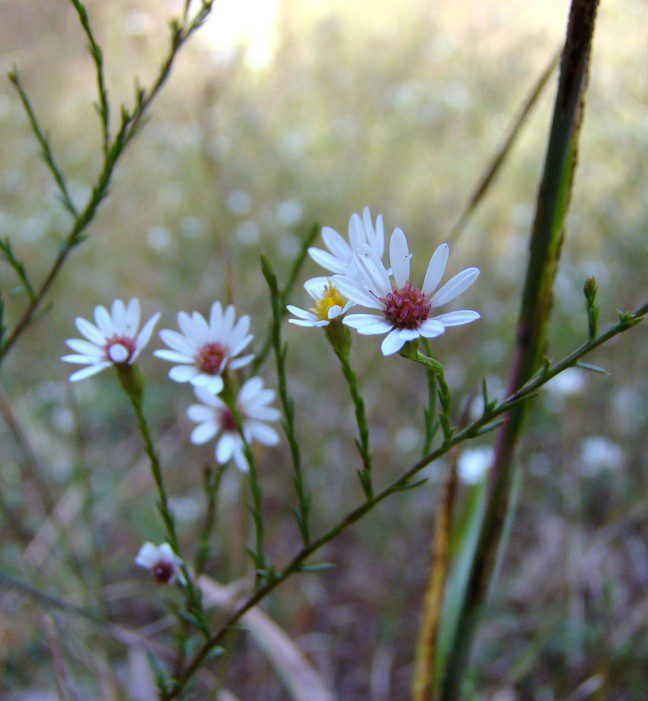 Serpentine aster (Aster depauperatus) is common at Nottingham, but is a globally rare plant, growing only here and a few other locations nearby.
