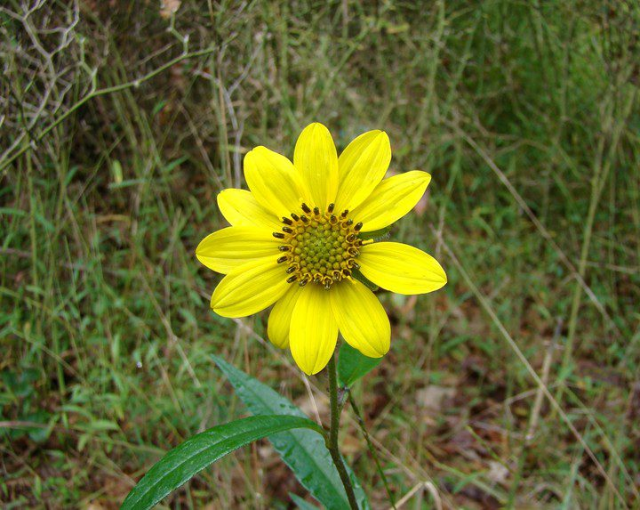 Tall sunflower (Helianthus giganteus) were in bloom along the trails.