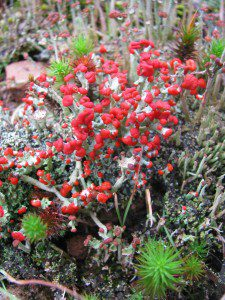 A cluster of Redcoats or British Soldiers, a type of fruticose lichen.