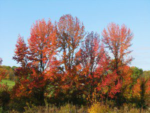 Red Maples along the edge of a pond at Brandywine Creek State Park. (photo by Derek Stoner 10.25.09)